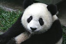 225px-Panda_Cub_from_Wolong,_Sichuan,_China