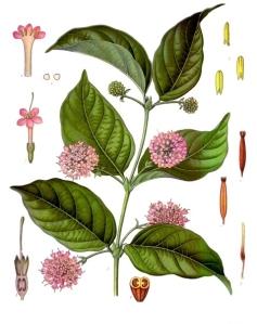 Uncaria_gambir_-_Köhler–s_Medizinal-Pflanzen-275