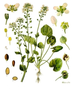 Cochlearia_officinalis_-_Köhler–s_Medizinal-Pflanzen-186