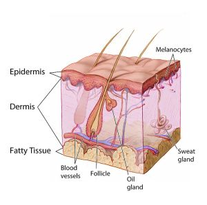 800px-Anatomy_The_Skin_-_NCI_Visuals_Online