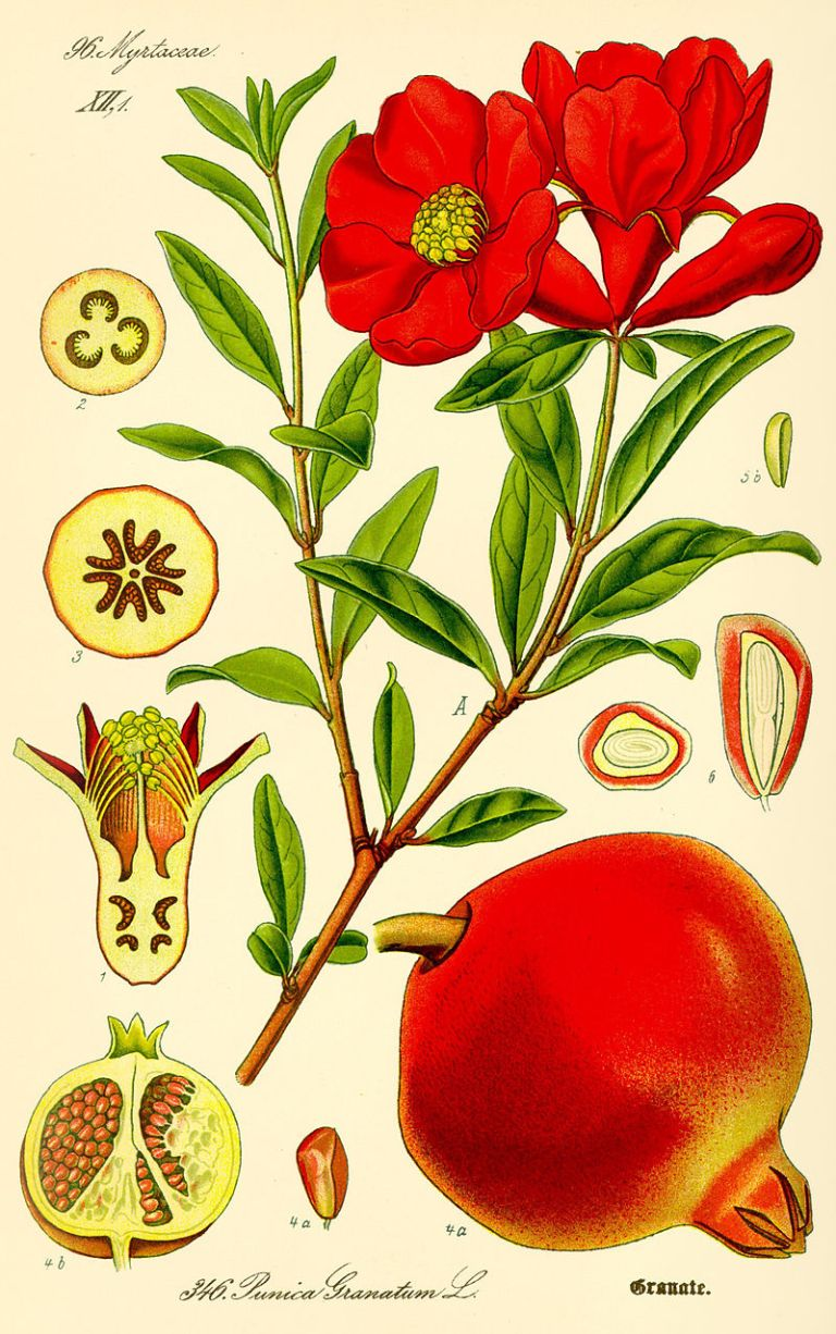 800px-Illustration_Punica_granatum2